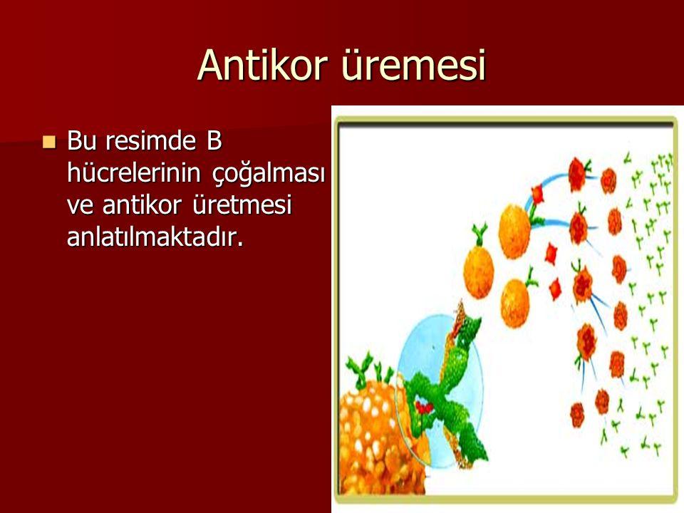 Antikor üremesi Bu resimde B hücrelerinin çoğalması ve antikor üretmesi anlatılmaktadır.