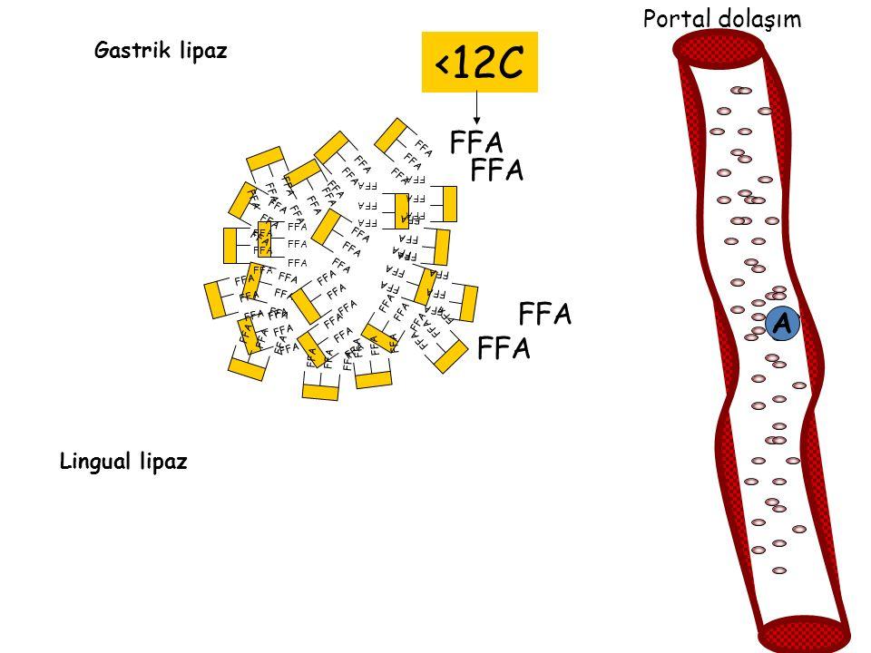 <12C FFA FFA FFA A FFA Portal dolaşım Gastrik lipaz Lingual lipaz