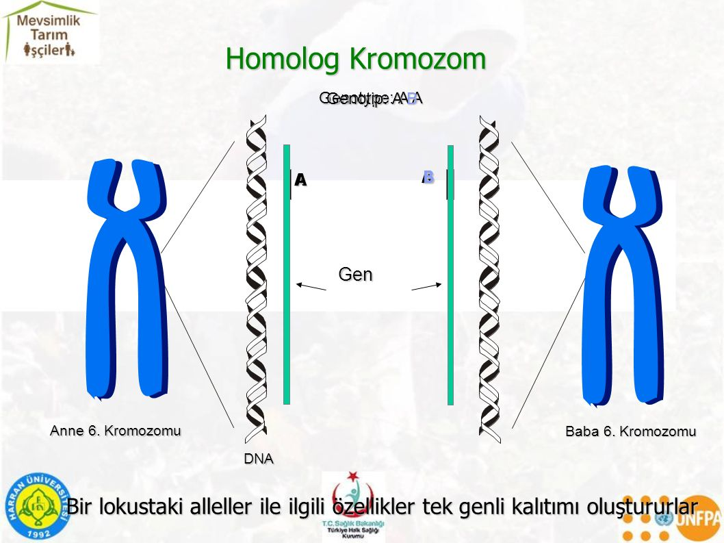 Homolog Kromozom Genotype: A A. A. Genotip: A B. A. B. Anne 6. Kromozomu. DNA. Gen. Baba 6. Kromozomu.