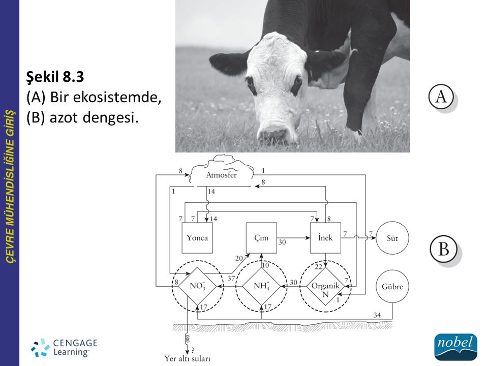 Şekil 8.3 (A) Bir ekosistemde, (B) azot dengesi.