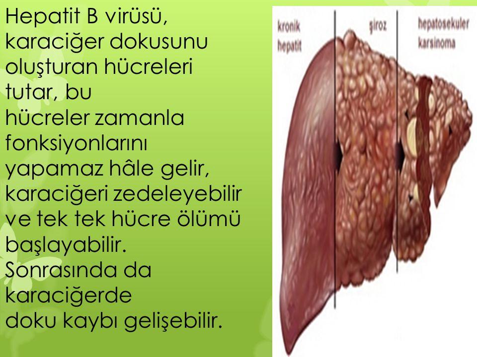 Hepatit B virüsü, karaciğer dokusunu oluşturan hücreleri tutar, bu
