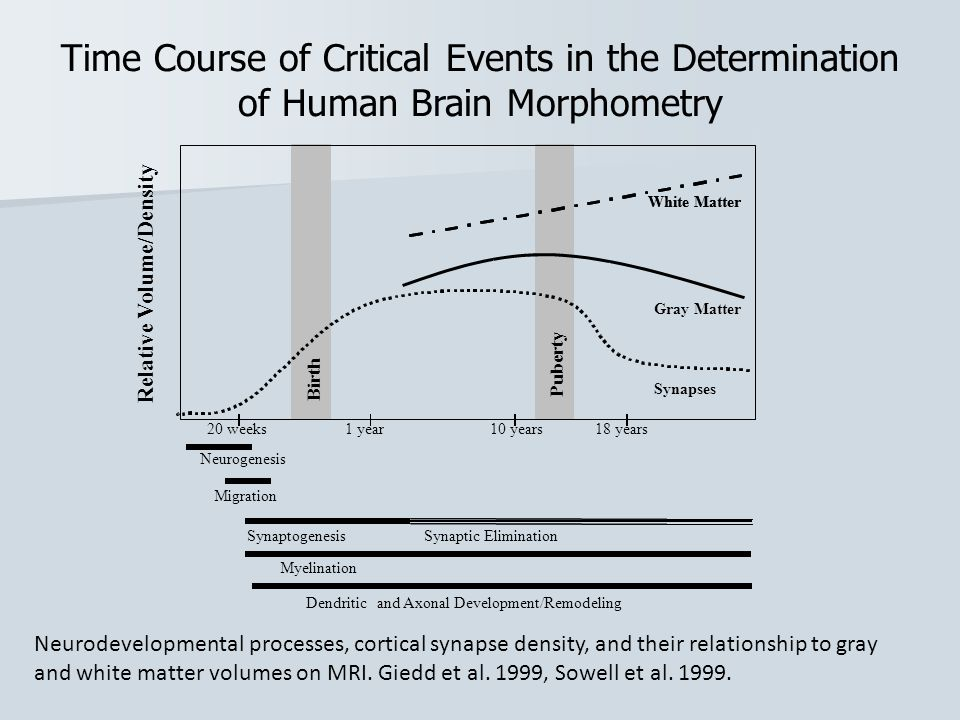 Time Course of Critical Events in the Determination of Human Brain Morphometry