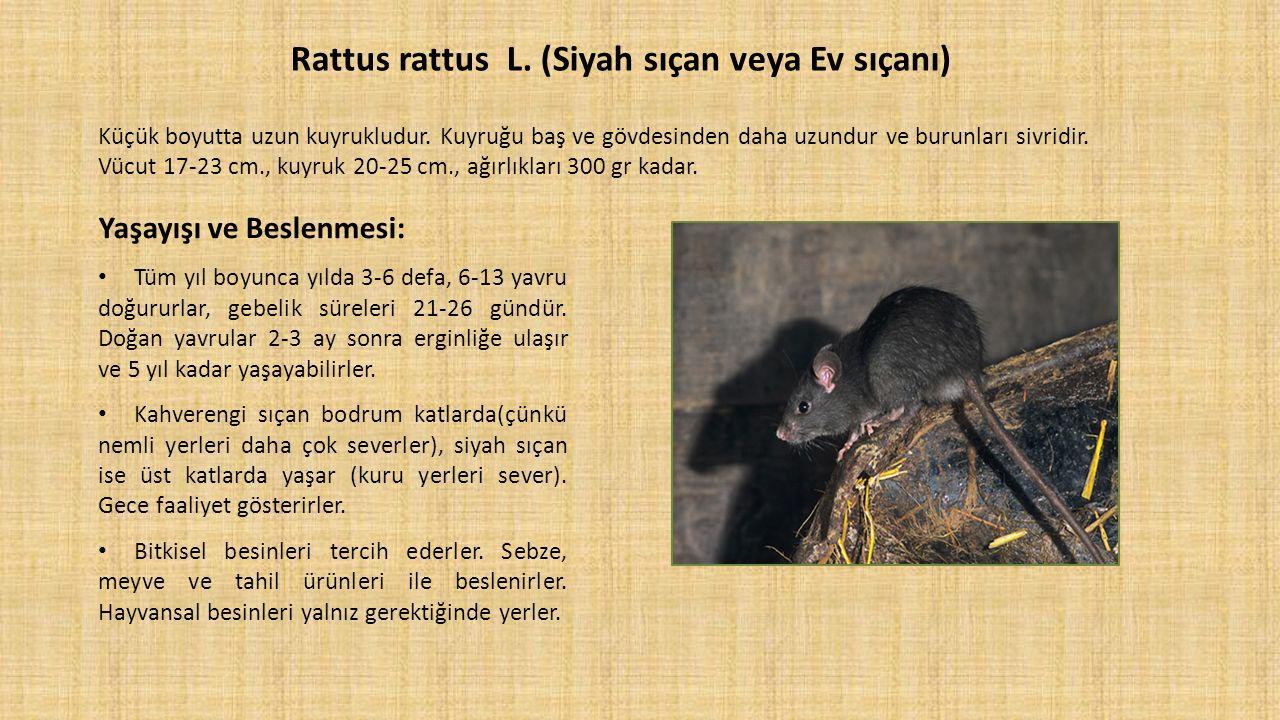 Rattus rattus L. (Siyah sıçan veya Ev sıçanı) Küçük boyutta uzun kuyrukludur. Kuyruğu baş ve gövdesinden daha uzundur ve burunları sivridir. Vücut 17-23 cm., kuyruk 20-25 cm., ağırlıkları 300 gr kadar.