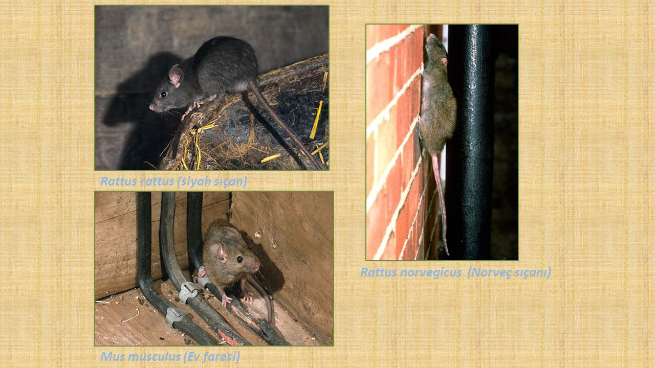 Rattus rattus (siyah sıçan)