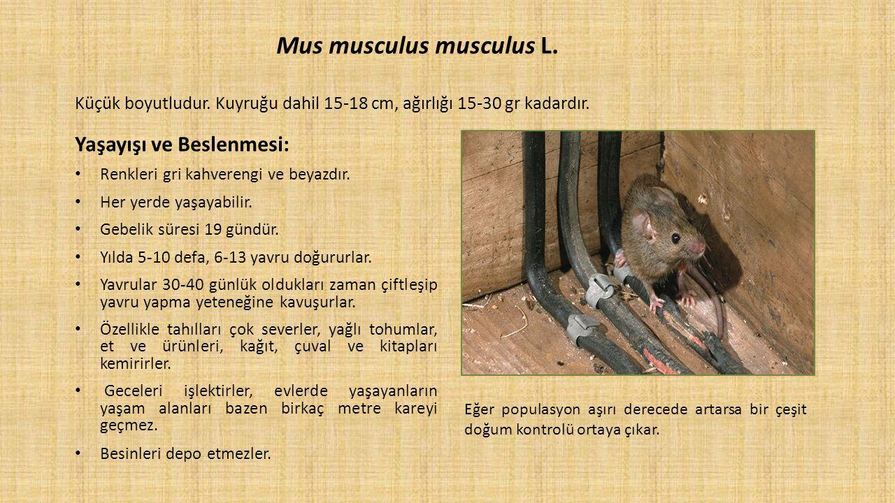 Mus musculus musculus L. Küçük boyutludur