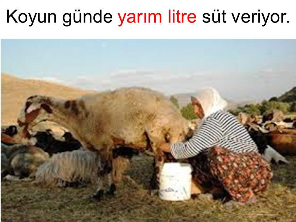 Koyun günde yarım litre süt veriyor.