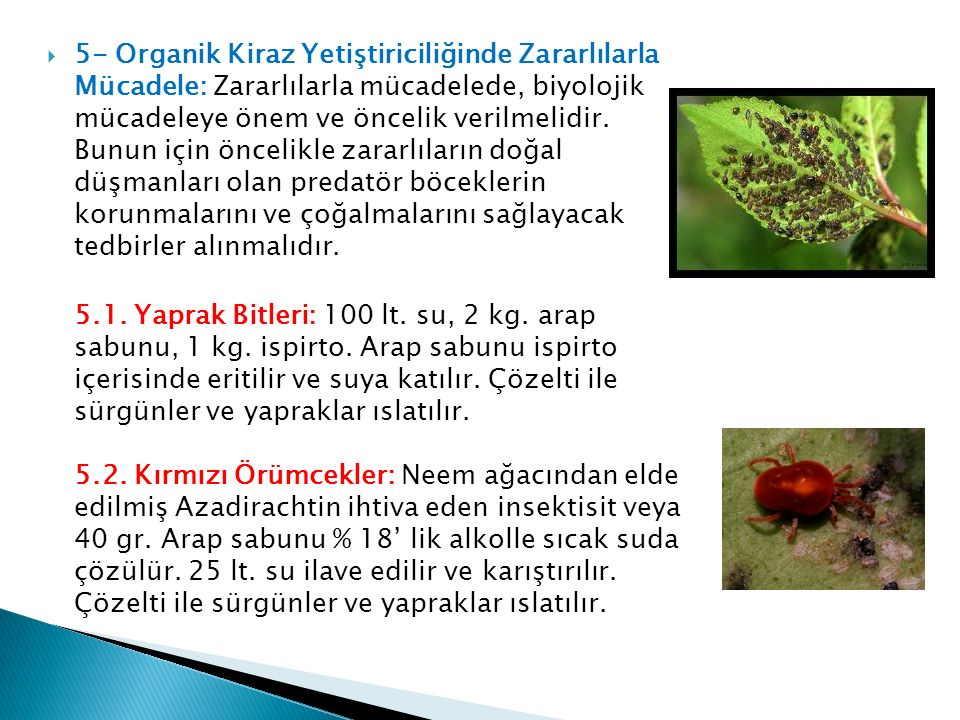 5- Organik Kiraz Yetiştiriciliğinde Zararlılarla Mücadele: Zararlılarla mücadelede, biyolojik mücadeleye önem ve öncelik verilmelidir. Bunun için öncelikle zararlıların doğal düşmanları olan predatör böceklerin korunmalarını ve çoğalmalarını sağlayacak tedbirler alınmalıdır.