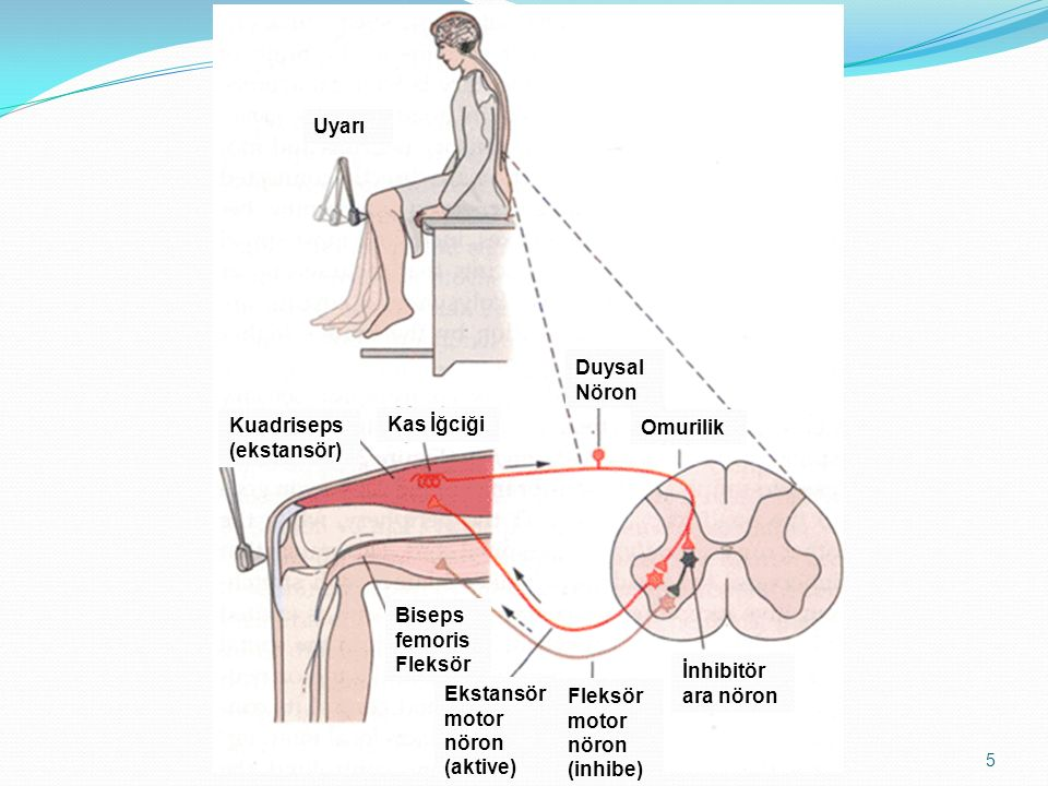 Uyarı Duysal Nöron. Kuadriseps (ekstansör) Kas İğciği. Omurilik. Biseps femoris. Fleksör. İnhibitör ara nöron.