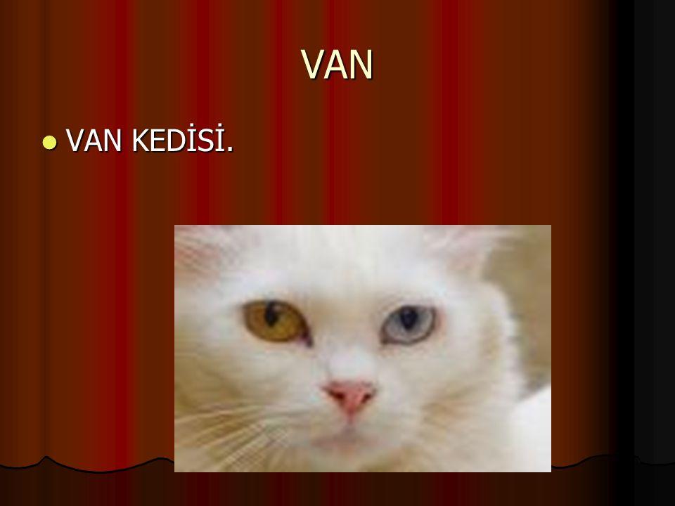 VAN VAN KEDİSİ.
