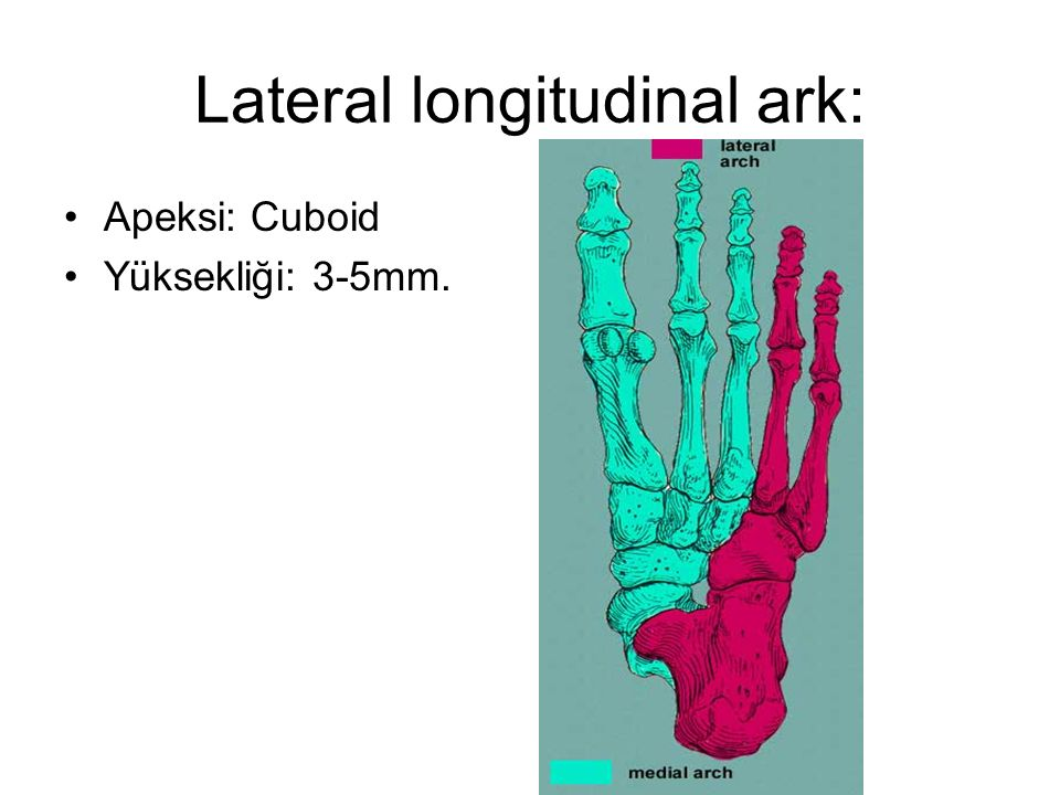 Lateral longitudinal ark: