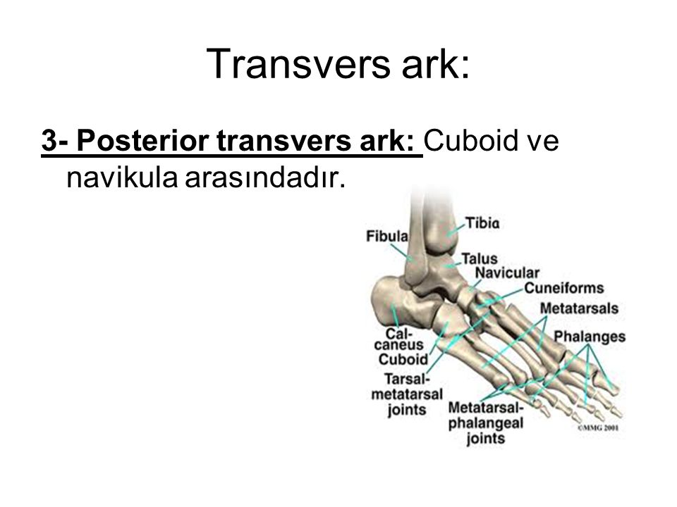 Transvers ark: 3- Posterior transvers ark: Cuboid ve navikula arasındadır.