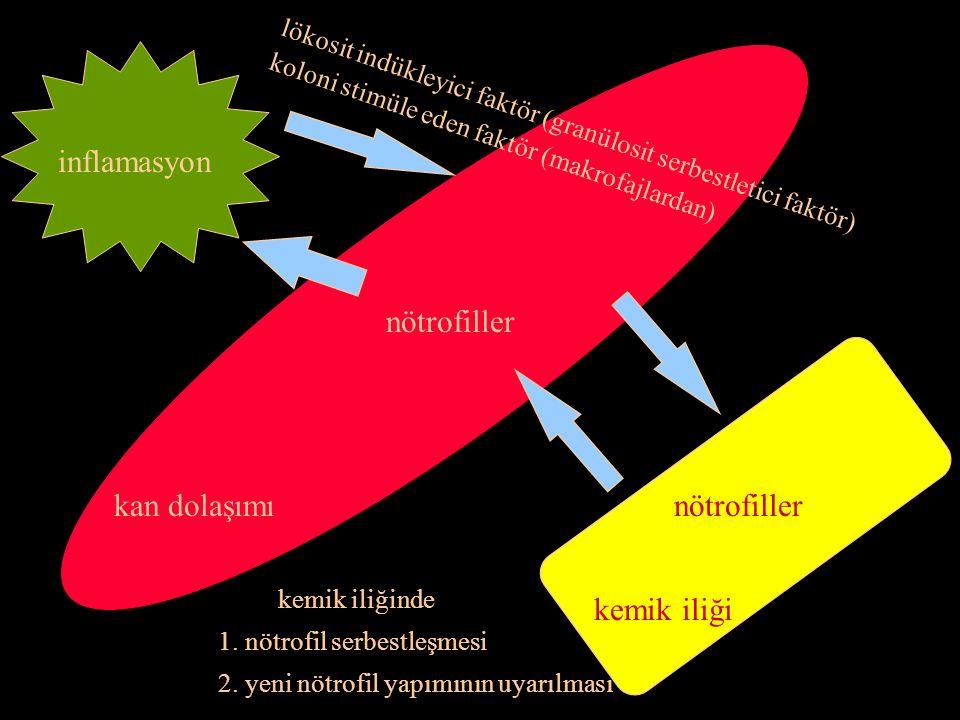 inflamasyon nötrofiller kan dolaşımı nötrofiller kemik iliği