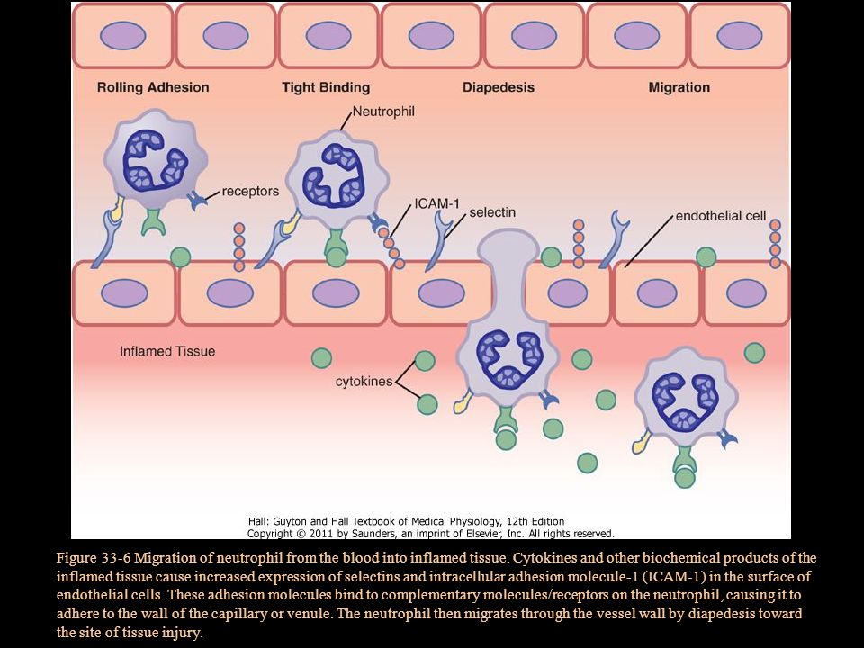 Figure 33-6 Migration of neutrophil from the blood into inflamed tissue.