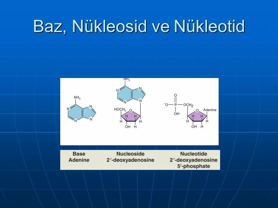 Baz, Nükleosid ve Nükleotid