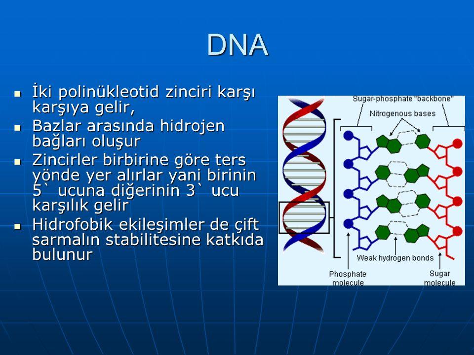 DNA İki polinükleotid zinciri karşı karşıya gelir,