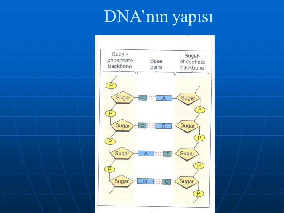 DNA'nın yapısı 5 3 3 5
