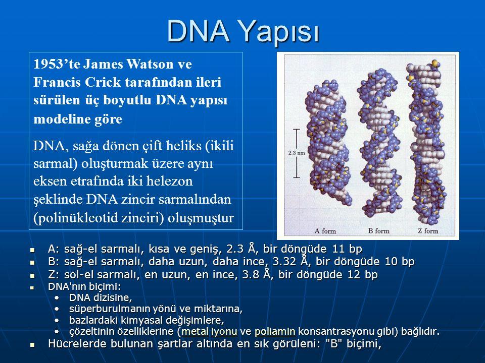 DNA Yapısı 1953'te James Watson ve Francis Crick tarafından ileri sürülen üç boyutlu DNA yapısı modeline göre.