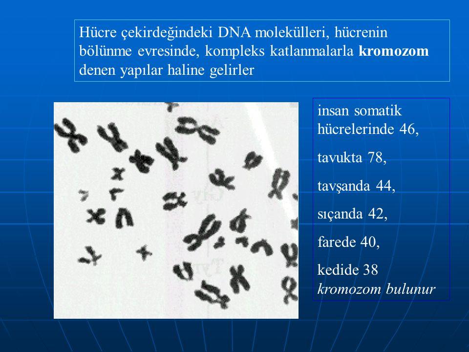 Hücre çekirdeğindeki DNA molekülleri, hücrenin bölünme evresinde, kompleks katlanmalarla kromozom denen yapılar haline gelirler