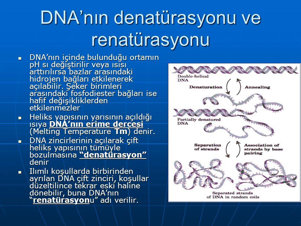 DNA'nın denatürasyonu ve renatürasyonu