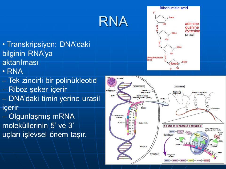 RNA • Transkripsiyon: DNA'daki bilginin RNA'ya aktarılması • RNA