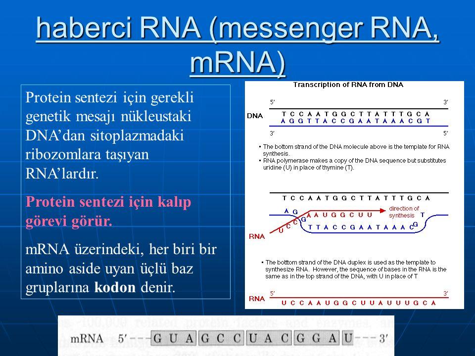 haberci RNA (messenger RNA, mRNA)