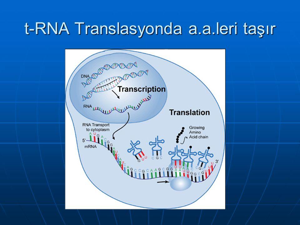 t-RNA Translasyonda a.a.leri taşır