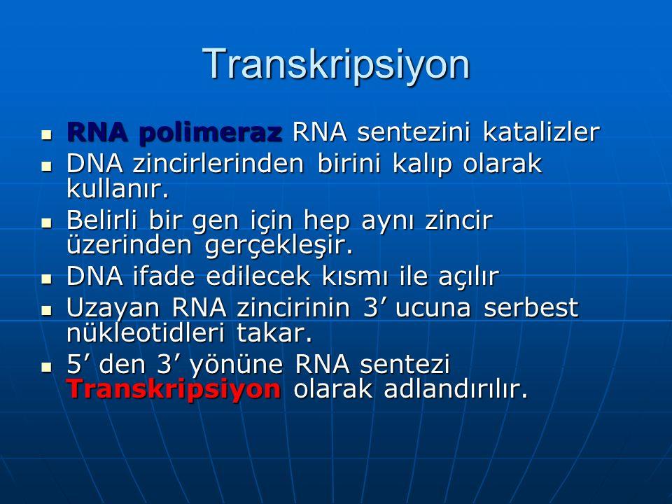 Transkripsiyon RNA polimeraz RNA sentezini katalizler