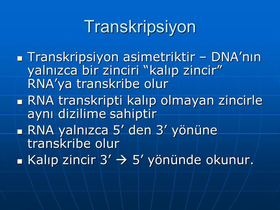 Transkripsiyon Transkripsiyon asimetriktir – DNA'nın yalnızca bir zinciri kalıp zincir RNA'ya transkribe olur.