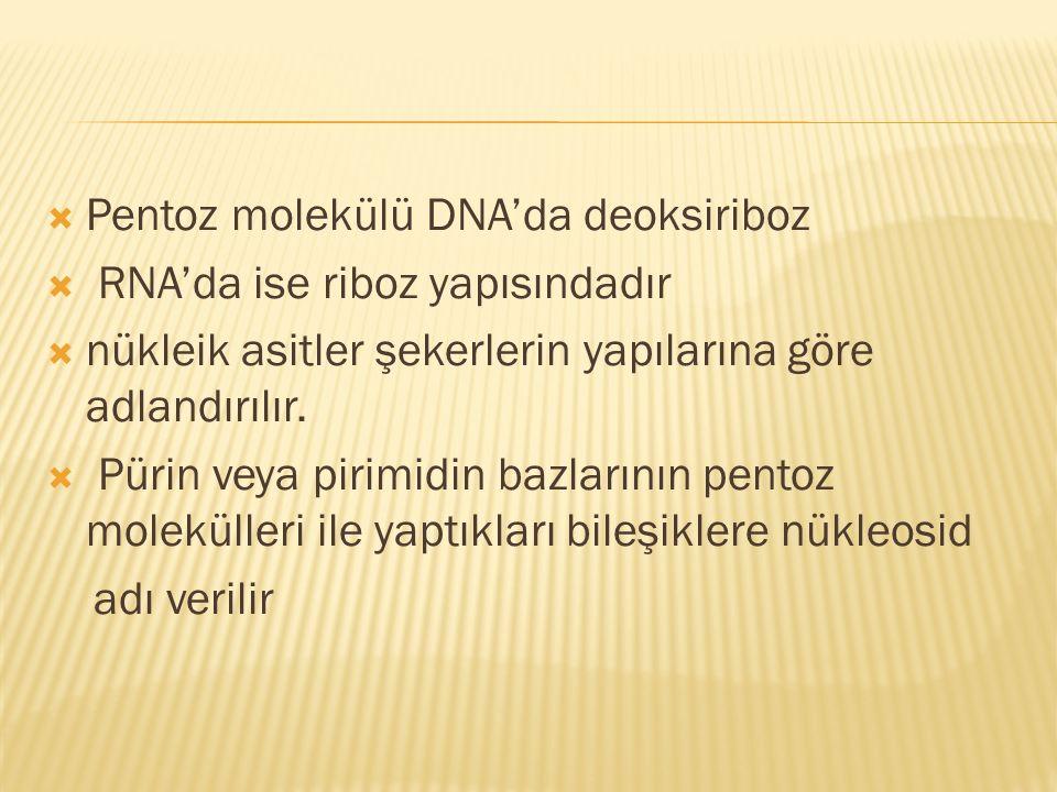 Pentoz molekülü DNA'da deoksiriboz