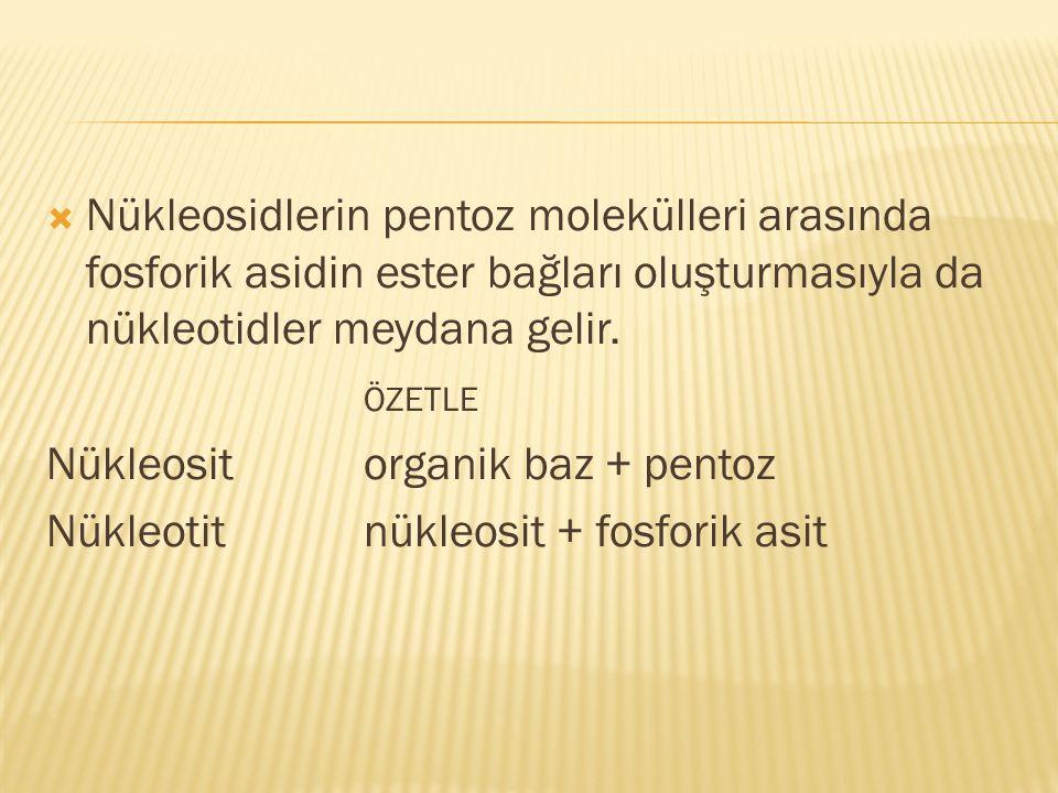 Nükleosit organik baz + pentoz Nükleotit nükleosit + fosforik asit