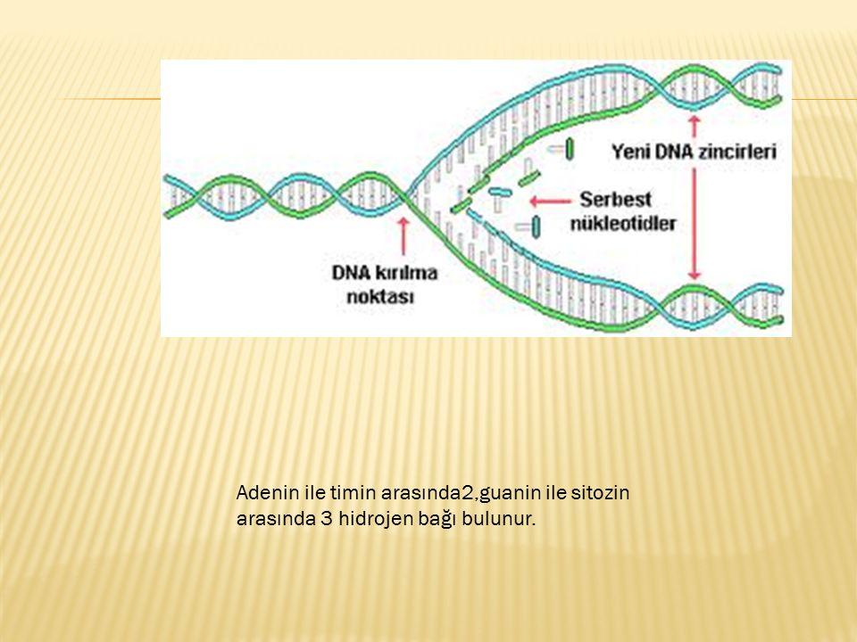 Adenin ile timin arasında2,guanin ile sitozin arasında 3 hidrojen bağı bulunur.