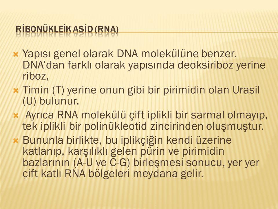 RİBONÜKLEİK ASİD (RNA)