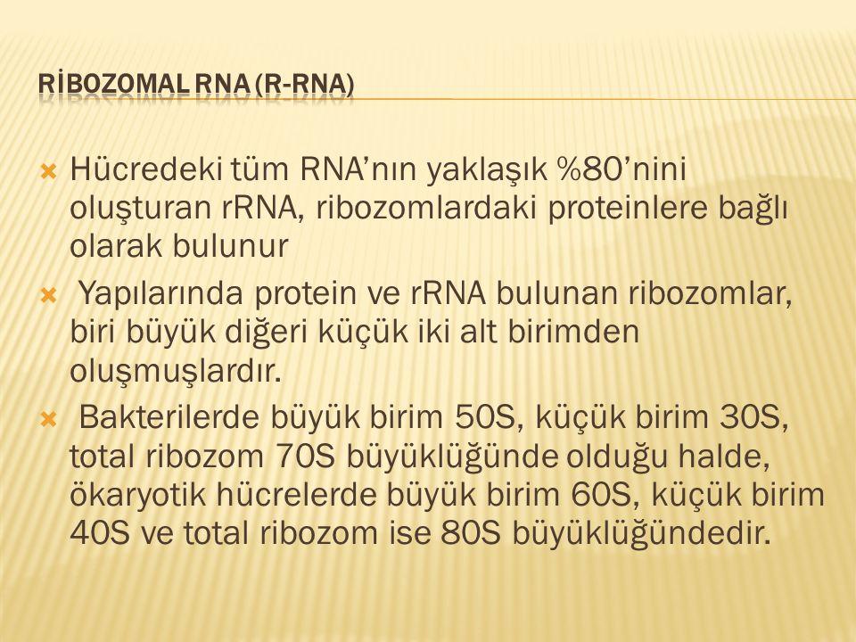 RİBOZOMAL RNA (r-RNA) Hücredeki tüm RNA'nın yaklaşık %80'nini oluşturan rRNA, ribozomlardaki proteinlere bağlı olarak bulunur.