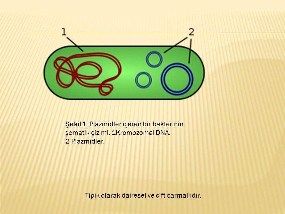 Şekil 1: Plazmidler içeren bir bakterinin şematik çizimi