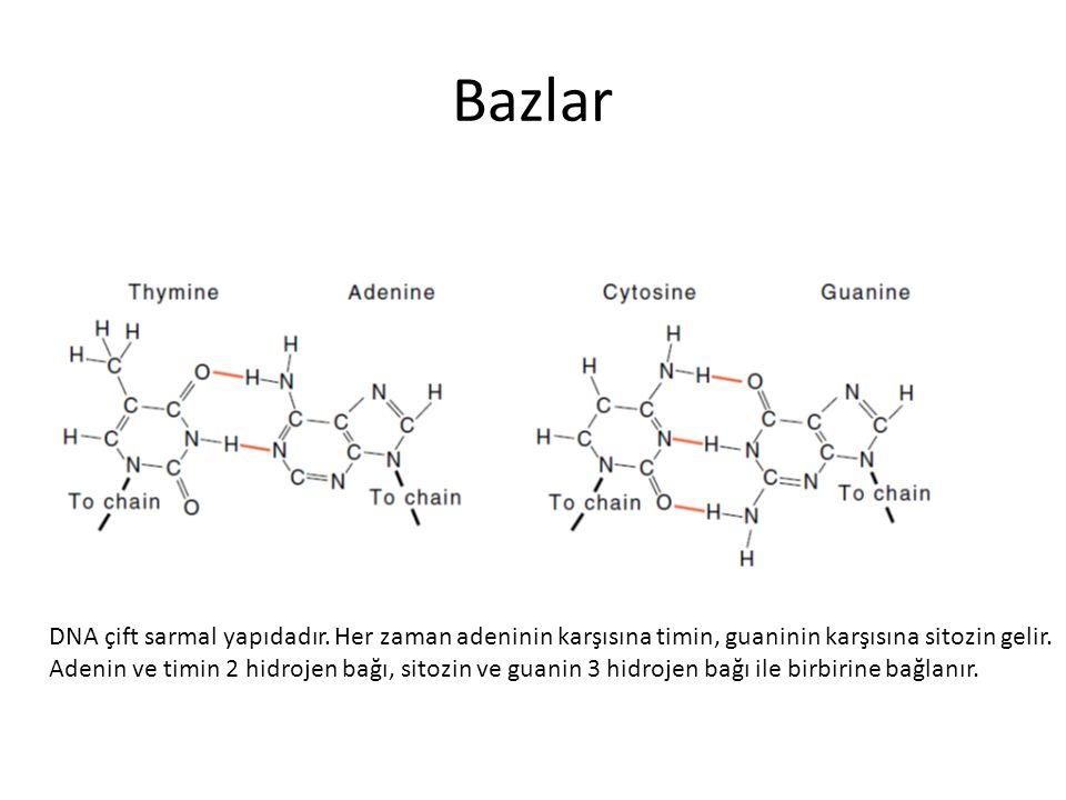 Bazlar DNA çift sarmal yapıdadır. Her zaman adeninin karşısına timin, guaninin karşısına sitozin gelir.