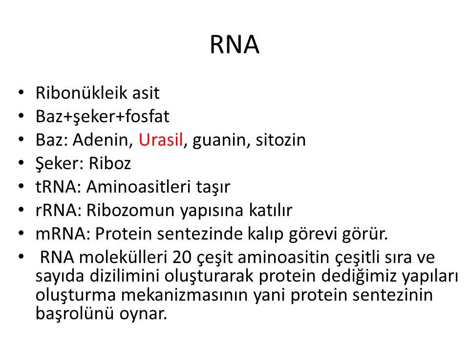 RNA Ribonükleik asit Baz+şeker+fosfat