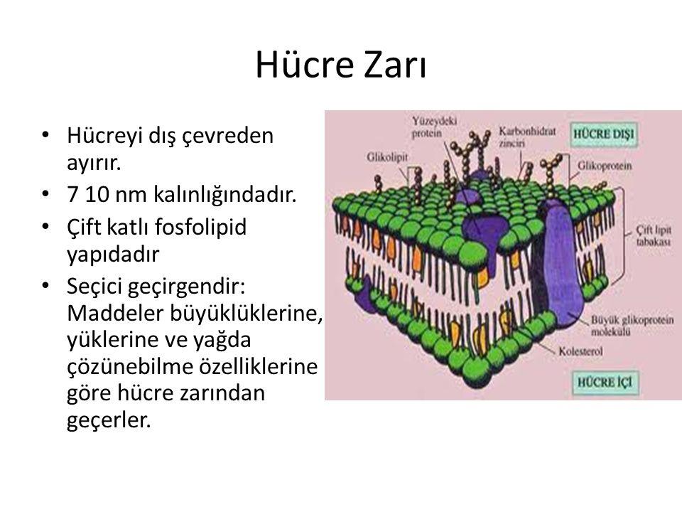 Hücre Zarı Hücreyi dış çevreden ayırır. 7 10 nm kalınlığındadır.