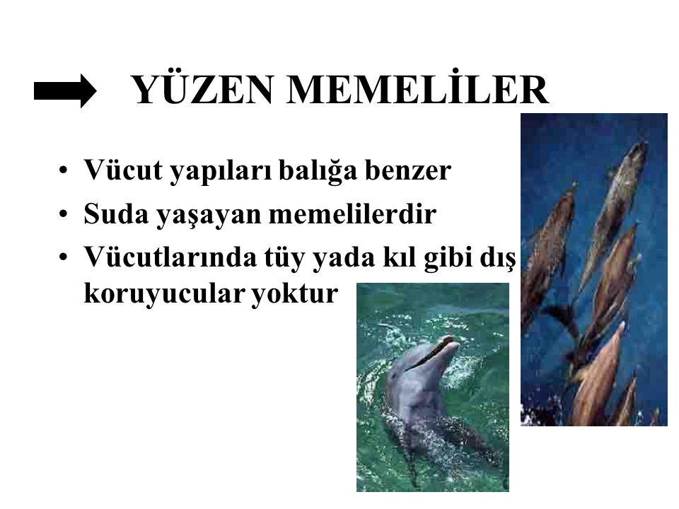 YÜZEN MEMELİLER Vücut yapıları balığa benzer Suda yaşayan memelilerdir