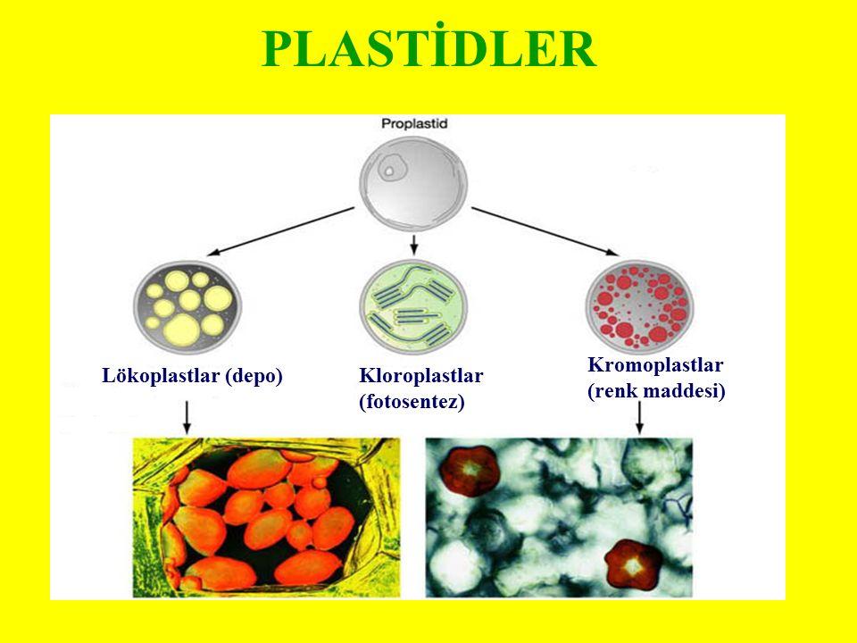 PLASTİDLER Kromoplastlar (renk maddesi) Lökoplastlar (depo)