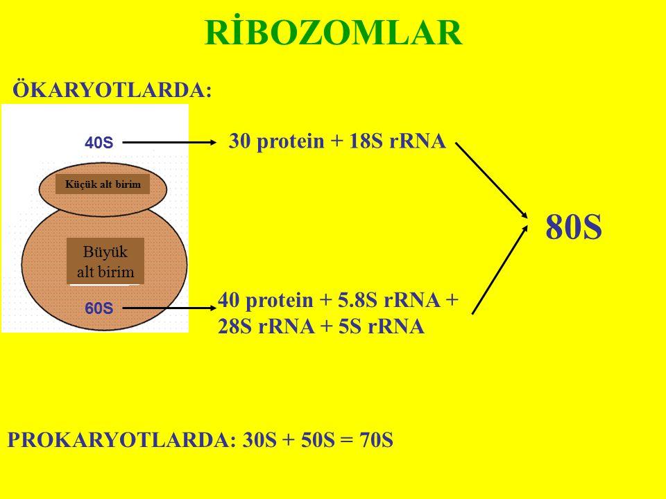 RİBOZOMLAR 80S ÖKARYOTLARDA: 30 protein + 18S rRNA