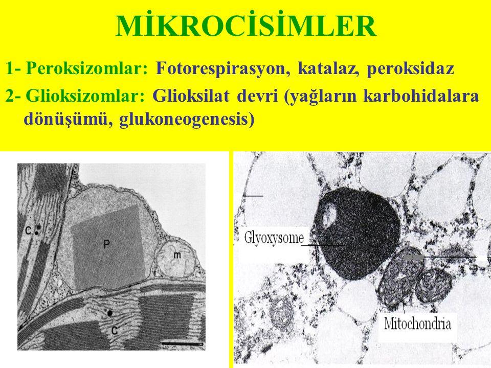 MİKROCİSİMLER 1- Peroksizomlar: Fotorespirasyon, katalaz, peroksidaz