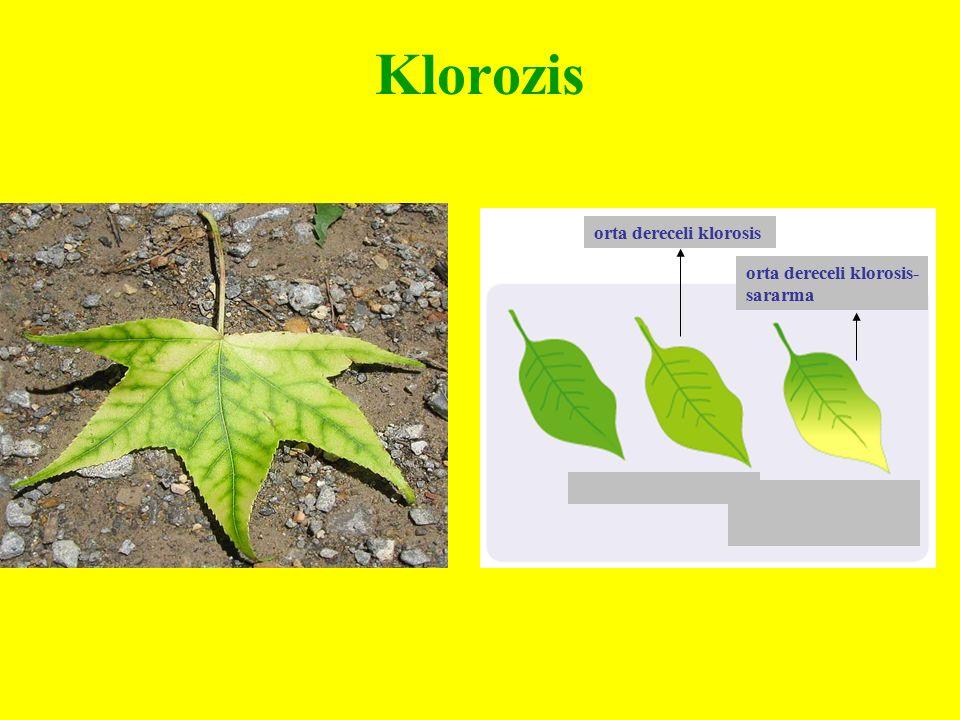 Klorozis orta dereceli klorosis orta dereceli klorosis-sararma