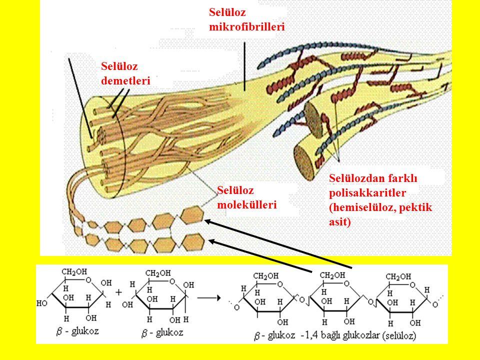 Selüloz molekülleri Selüloz demetleri. Selüloz mikrofibrilleri.