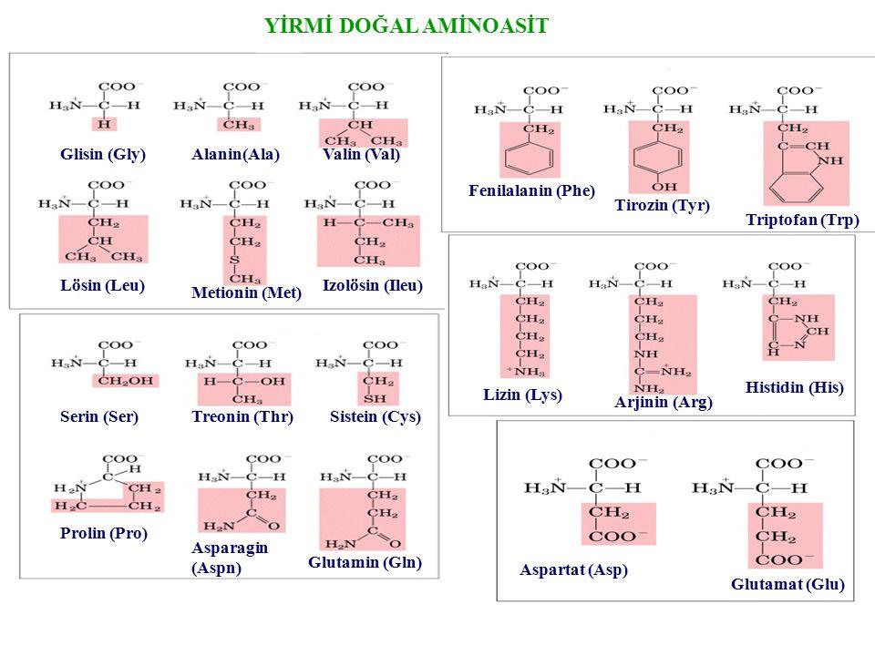 YİRMİ DOĞAL AMİNOASİT Glisin (Gly) Alanin(Ala) Valin (Val) Lösin (Leu)