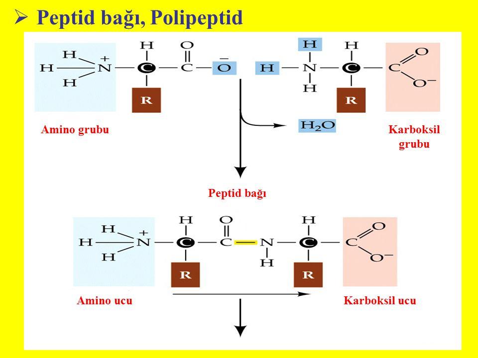 Peptid bağı, Polipeptid