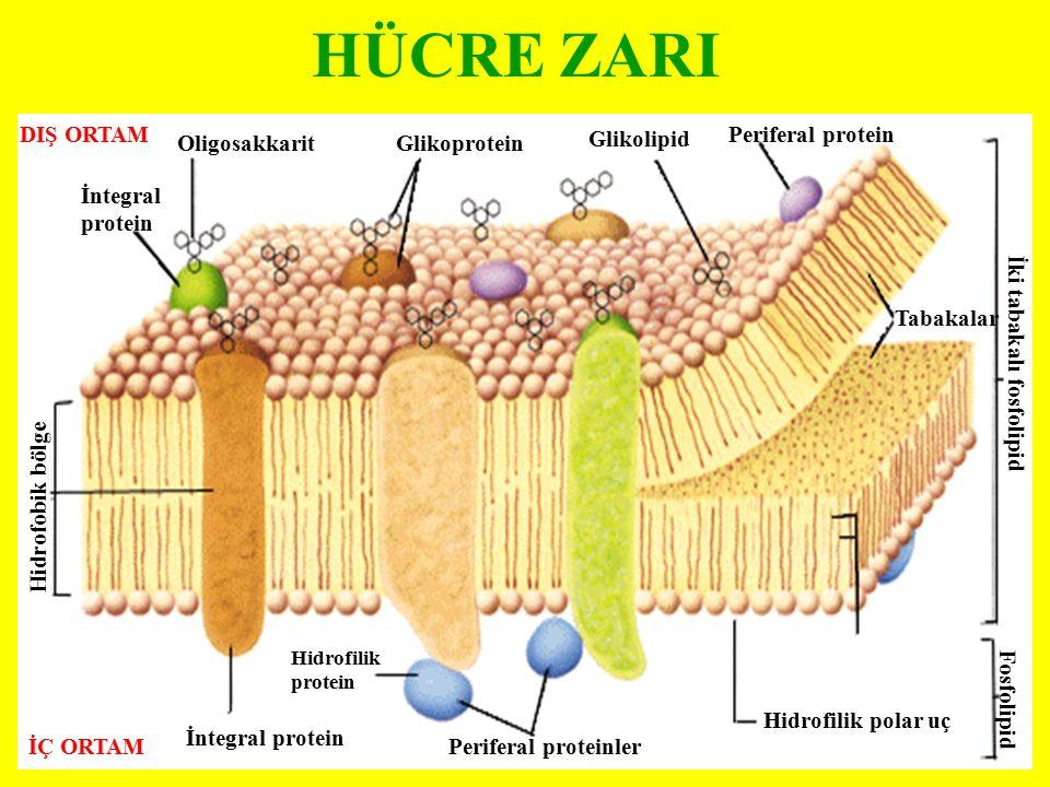 HÜCRE ZARI DIŞ ORTAM İÇ ORTAM İntegral protein Oligosakkarit