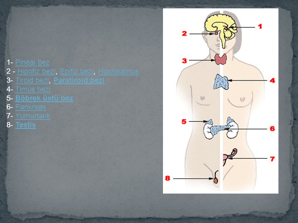 1- Pineal bez 2 - Hipofiz bezi, Epifiz bezi, Hipotalamus. 3- Tiroid bezi, Paratiroid bezi. 4- Timüs bezi.
