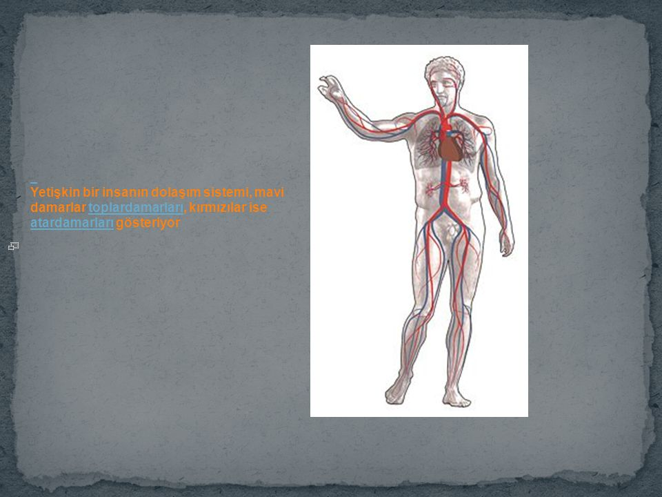 Yetişkin bir insanın dolaşım sistemi, mavi damarlar toplardamarları, kırmızılar ise atardamarları gösteriyor.