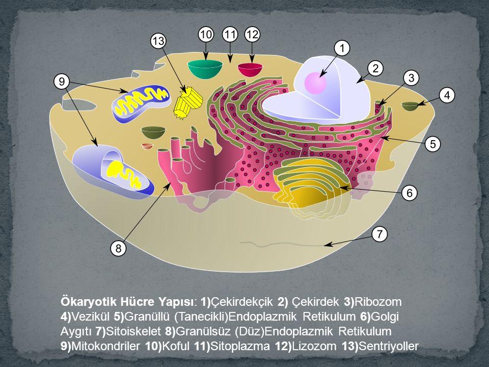 Ökaryotik Hücre Yapısı: 1)Çekirdekçik 2) Çekirdek 3)Ribozom 4)Vezikül 5)Granüllü (Tanecikli)Endoplazmik Retikulum 6)Golgi Aygıtı 7)Sitoiskelet 8)Granülsüz (Düz)Endoplazmik Retikulum 9)Mitokondriler 10)Koful 11)Sitoplazma 12)Lizozom 13)Sentriyoller