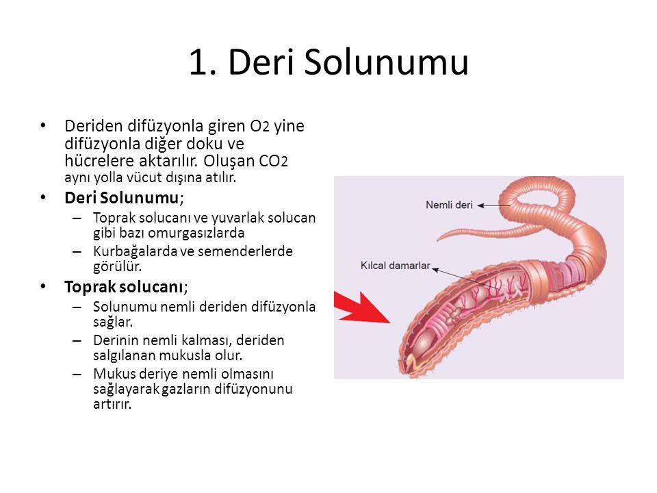 1. Deri Solunumu Deriden difüzyonla giren O2 yine difüzyonla diğer doku ve hücrelere aktarılır. Oluşan CO2 aynı yolla vücut dışına atılır.